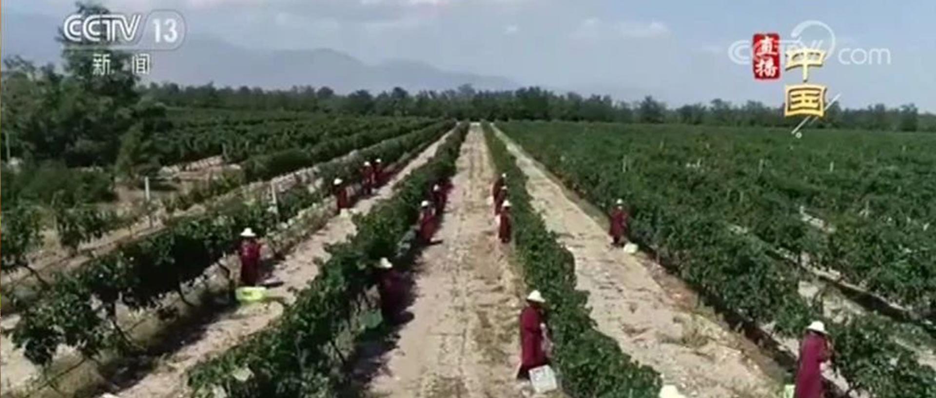 央视 · 直播中国:贺兰山东麓葡萄喜丰收,葡萄飘香酿琼浆 | 源石酒庄
